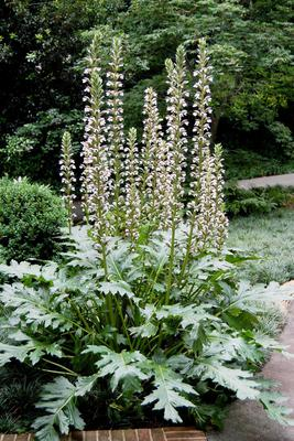 The Immortal Acanthus Will Make A Majestic Statement In Your