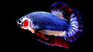 Thai Fish With National Flag Colours Makes A Splash With Auction Record Independent Ie